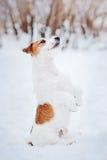 狗杰克罗素狗在冬天做窍门 免版税库存图片