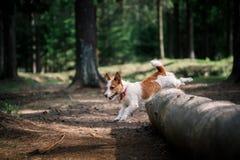 狗杰克罗素狗在自然走 库存照片