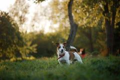 狗杰克罗素狗在自然走 免版税库存照片