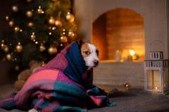 狗杰克・罗素 圣诞节季节2017年,新年 免版税库存图片