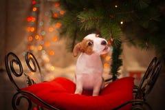 狗杰克・罗素 小狗 圣诞节, 免版税库存图片