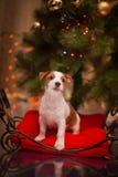 狗杰克・罗素 小狗 圣诞节, 免版税图库摄影