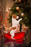 狗杰克・罗素 小狗 圣诞节, 库存照片