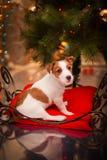 狗杰克・罗素 小狗 圣诞节, 免版税库存照片