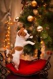 狗杰克・罗素 小狗 圣诞节, 图库摄影