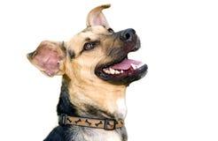 狗查出的白色 免版税库存图片