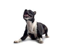 狗查出的肌肉 库存图片