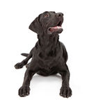 狗查寻猎犬的拉布拉多 免版税库存图片