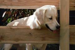 狗横跨篱芭的金毛猎犬神色 免版税库存照片