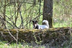 狗步行在森林里 免版税图库摄影