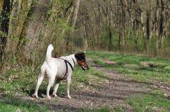 狗步行在森林里 图库摄影
