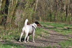 狗步行在森林里 库存照片