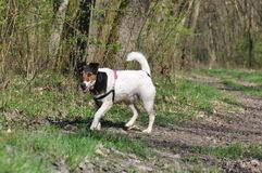 狗步行在森林里 库存图片