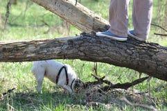 狗步行在森林里 免版税库存图片