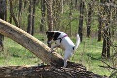 狗步行在森林里 免版税库存照片