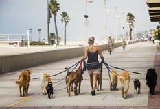 狗步行者 免版税库存图片