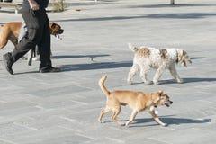 狗步行者 库存照片