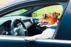 狗汽车方向盘 免版税图库摄影