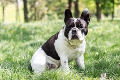 狗法国牛头犬,感觉的幸福 免版税库存图片