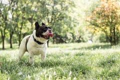 狗法国牛头犬,感觉的幸福 免版税图库摄影