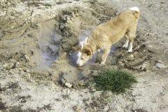 狗泥浴 库存照片