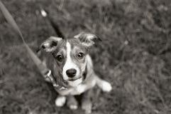 狗注视小狗 库存图片