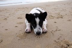 狗活在海滩 免版税库存图片