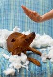 狗淘气小狗在叮咬以后惩罚了枕头 免版税图库摄影