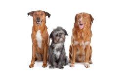 狗混合新斯科舍二 库存图片