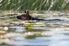 狗游泳在河 免版税库存照片
