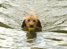 狗游泳在湖 库存照片