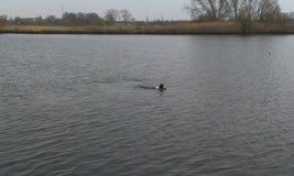 狗游泳在湖 免版税库存照片