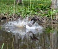 狗游泳 免版税库存图片