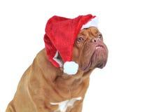 狗滑稽的圣诞老人 免版税库存照片