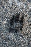 狗爪子印刷品在海滩 图库摄影