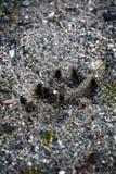 狗爪子印刷品在海滩 免版税库存照片