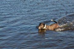 狗爬式游泳 免版税图库摄影