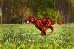 狗爱尔兰人的特定装置赛跑 免版税库存照片