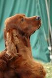 狗爱尔兰人的特定装置 免版税图库摄影