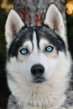 狗爱斯基摩 库存照片