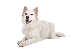 狗牧羊人白色 免版税库存照片