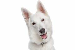 狗牧羊人白色 免版税图库摄影