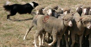 狗牧羊人 库存照片