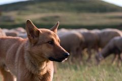 狗牧羊人 免版税库存图片