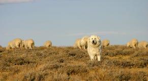狗牧群保护的绵羊 免版税图库摄影