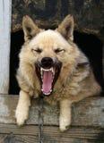 狗狂吠 免版税库存图片