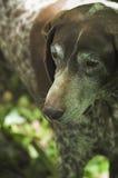 狗狩猎块菌 免版税库存照片