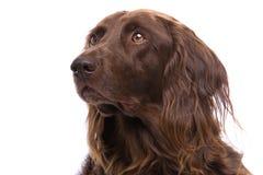 狗狩猎纵向 免版税库存照片