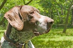 狗狩猎 库存图片