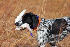狗狩猎 图库摄影